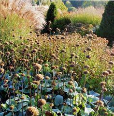 Garden Designer Visit: Tom Stuart-Smith at Grendon Court. Seed heads amongst coarse foliage
