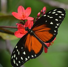 Heliconius hecale or Golden helicon sips from red Jatropha Flying Flowers, Butterflies Flying, Beautiful Butterflies, Beautiful Birds, Butterfly Effect, Butterfly Kisses, Butterfly Flowers, Butterfly House, Butterfly Species