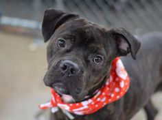 SAFE --- TO BE DESTROYED - 12/09/14 Brooklyn Center   SKULLY - A1022212   MALE, BL BRINDLE / BROWN, BOXER / PIT BULL, 3 yrs OWNER SUR - EVALUATE, NO HOLD Reason TOO BIG  Intake condition UNSPECIFIE Intake Date 12/03/2014, From NY 11213, DueOut Date 12/03/2014,  https://www.facebook.com/photo.php?fbid=917675408245339