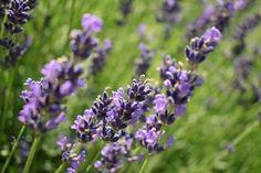 Lavendel schneiden: Wann und wie viel? |
