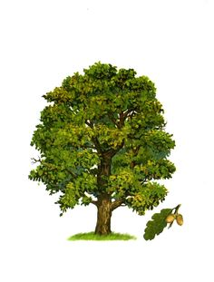 Drzewo Garden Trees, Trees To Plant, Card Games, Game Cards, Nature Study, Edm, Biology, Clip Art, Herbs