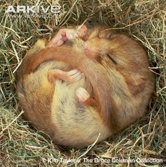 I am awed by the causing-immense-amounts-of-helplessness-at-its-adorableness powers of such a tiny animal. It's a dormouse, btw.