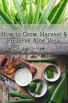 How to Grow, Harvest & Preserve Aloe Vera for the Home Apothecary Perhaps one of the most medicinally valuable succulents, aloe vera plants are easy to grow and thrive on neglect. Learn how to grow, harvest and preserve fresh aloe vera gel for minor burns