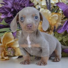 All of our puppies here at Down Home Dachshunds come with a One Year Written Health Guarantee and are current on all vaccinations and worming. Learn more today! Dachshund Puppies For Sale, Baby Dachshund, Cute Puppies, Dogs And Puppies, Dachshund Quotes, Happy Animals, Cute Funny Animals, Dachshund Breeders, Miniature Puppies