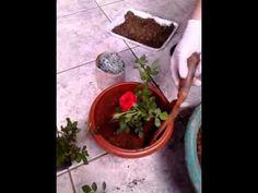 Como plantar uma muda de roseira