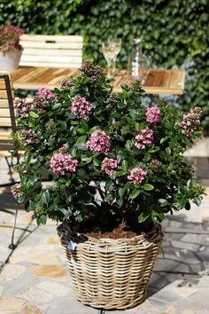 Escallonia 'Pink Elle' • Fantastic low ornamental hedging • Great container displays • Feature plant for small gardens