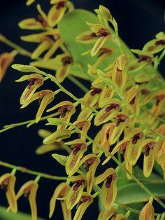Stelis psilantha by Daniel-CR, via Flickr