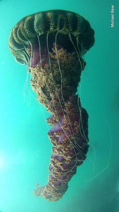 HUGE jellyfish!