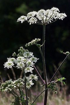 Gewone Berenklauw (Van vroegevogels) Dandelion, Flowers, Plants, Dandelions, Plant, Taraxacum Officinale, Royal Icing Flowers, Flower, Florals