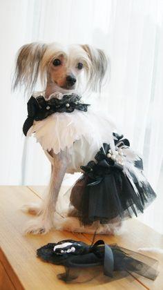atena!! my famile chinese crestede dog