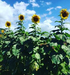 Wander through a field of sunflowers. | 23 Magical Things You Didn't Know You Could Do In NSW