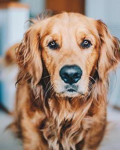 Beautiful old golden retriever #DogBreeds #goldenretriever