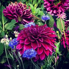 We can't get enough of the #flora this week, from our paintings, to our gardens . Today dahlias are grown for their exquisite ornamental beauty, but they were originally cultivated by Aztecs in Mexico for their edible tuber root. These tubers, which have a range of tastes - from sweet to bitter - still feature in Oaxacan cuisine. . . . #gettymuseum #gettycenter #la #gettygarden #robertirwin #dahlia #flowers #color #oaxaca #aztec #roots #cuisine