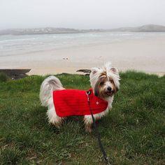 Enjoying the view over #hawkerscove  #photooftheday #cute #cutedog #view #cornwall #Padstow #yorkie #yorkshireterrier#dog#hund#犬#愛犬#ヨーキー#ヨークシャテリア#yorkiegram #yorkiesofinstagram#yorkies#yorkielove #dogsofinstagram#dogstagram#dogs_of_instagram#doglovers#わんこ #biewer#cane#犬バカ部#hundeliebe#いぬ