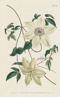 Clematis Florida. Large-Flowered Virgin's-Bower. from Curtis flower prints, daylily, blue iris, spring crocus, passion flower, violet, garland flower