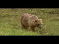 The best hope for grizzly bear recovery is to promote coexistence with the people who live near them. Defenders of Wildlife offers several proactive solutions and educational programs to help prevent conflicts between people and grizzlies that all-too-often result in the death of the bear. Learn more about how Defenders of Wildlife is protecting grizzlies at: Defenders.org