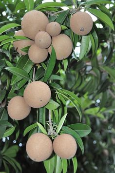 A caramel like flavored fruit (Chiku) Fruit Plants, Fruit Garden, Fruit Trees, Weird Fruit, Strange Fruit, Fresh Fruits And Vegetables, Fruit And Veg, Veggies, Variety Of Fruits