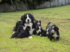 Someday I WILL have a Bernese mountain dog :)