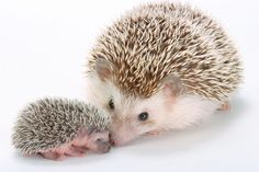 Hedgie mom with baby