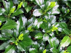 Pachysandra terminalis 'Green Sheen' - kopen | Maréchal