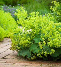 This acid-green, fluffy-flowered plant, Alchemilla mollis is one of the best ever foliage plants for the garden & vase.