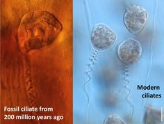 Fossilised microbe found in 200 million year old Leech cocoon