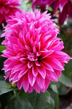 91 best bright pink flowers images on pinterest bright pink rose hot pink dahlias june november mightylinksfo