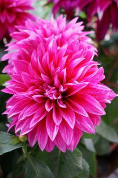 Dsc04879芍藥花 Hot Pink Flowerserfly