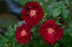 Dr Huey Rose | Hedgerow Rose