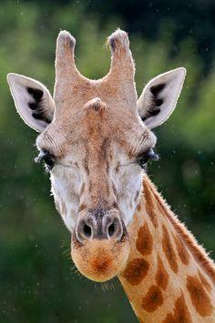 Portrait of a giraffe by Tambako the Jaguar, via Flickr