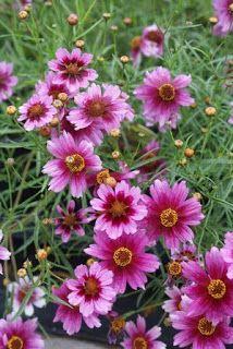 Coreopsis rosea Heavens Gate