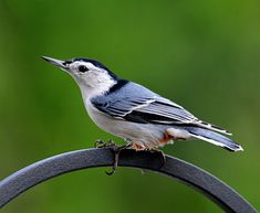 Nuthatch bird - we call it the clown bird because of its white face
