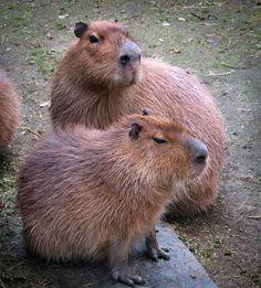 Capybaras @Bridget Boyd @Rachel Torres