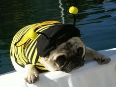 The Best Pug Pictures: Bumblepug - Hubub Pugs In Costume, Pet Costumes, Halloween Costumes, Cute Pugs, Funny Pugs, Pug Pictures, Mundo Animal, Pet Life, Pug Love