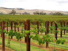 Cap sur le sud de l'Australie, où se trouve une région bien connue des passionnés de vin: La vallée Barossa - Celle-ci se trouve à une soixantaine de kilomètres de la ville d'Adélaïde et constitue une destination de choix pour découvrir les vins australiens et les caves locales. Elle est réputée pour la production de syrah, un cépage utilisé dans l'élaboration de vins rouges de caractère.
