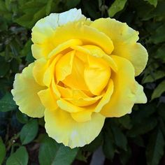 Yellow rose, my neighbours have beautiful flowers #roses #yellow #photography…