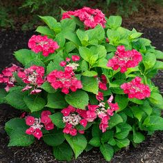 National Plant Network 4 in. Cherry Explosion Hydrangea Shrub with Red Flowers Hydrangea Shrub, Red Hydrangea, Hydrangea Macrophylla, Hydrangea Varieties, Hydrangeas, Red Flowers, Colorful Flowers, Unusual Flowers, Amazing Flowers
