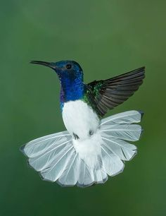 White-necked Jacobin is a large hummingbird that ranges from Mexico south to Peru, Bolivia and south Brazil. It is also found on Tobago and in Trinidad