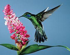 Beija-Flor verde ✿ Green hummingbird
