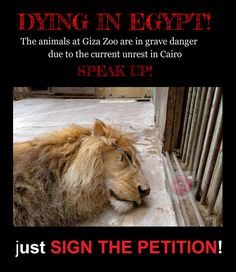 EGYPT: the animals inside Giza Zoo are in  danger due to current unrest in Cairo -  sign our petition. Egypt's Ministry of Interior published an official statement saying they will be using tear gas to end protest in El Nahda Square. This would occur close to Giza Zoo where 2,600 animals live in captivity. They cannot run away and they would suffocate to death! https://www.change.org/petitions/military-general-and-dr-osama-selim-please-protect-the-weak-and-helpless-this-includes-the-animals