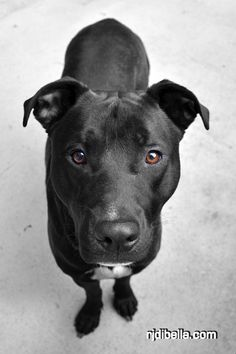 This looks exactly like my dog Ramsey. He's a pitbull/ black lab. I live in a old farm house with three horses, two cats and a bunny.