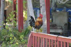 Key West Chickens  :)