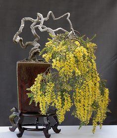 Acacia cultriformis (Knifeleaf Acacia)