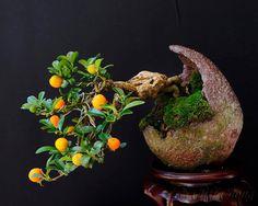 Citrofortunella microcarpa - Calamondin Bonsai