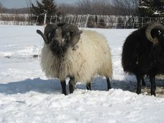 "From Marie at Kansas Fiber Farm in LaCygne, Kansas ""Budster"" is a black badgerface Icelandic ram."
