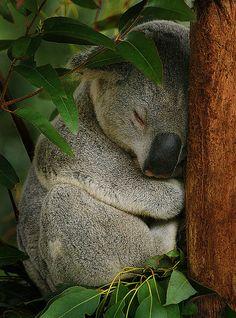 24 Ideas For Travel Tattoo Australia Koala Bears Koala Bears, Baby Koala, Zoo Pictures, Animal Pictures, Baby Animals, Cute Animals, Wild Animals, Koala Tattoo, Koala Craft
