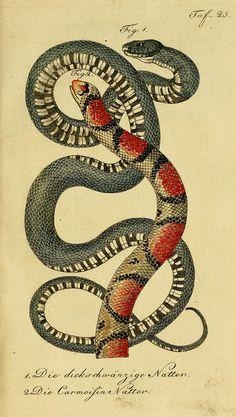 Herrn de la Cepede's Naturgeschichte der Amphibien, oder der enerlegenden vierfussigen Thiere und der Schlangenby BioDivLibrary on Flickr.