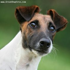 Jack Russell Terrier, 1 year, Brown and White, smile
