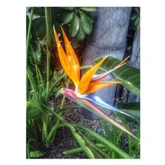 Bird of Paradise  The Dana on Mission Bay via @jaime.ayala at Instagram