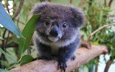 Baby Koala - Koala Funny - Funny Koala meme - - Baby Koala Koala Funny Baby Koala The post Baby Koala appeared first on Gag Dad. The post Baby Koala appeared first on Gag Dad. Funny Koala, Cute Funny Animals, Cute Baby Animals, Nature Animals, Animals And Pets, Australian Animals, Tier Fotos, Cute Animal Pictures, Animal Pics